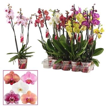 Phalaenopsis 3 tak mix (Scenza)
