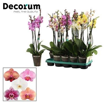 Phalaenopsis 3 tak mix (Decorum)