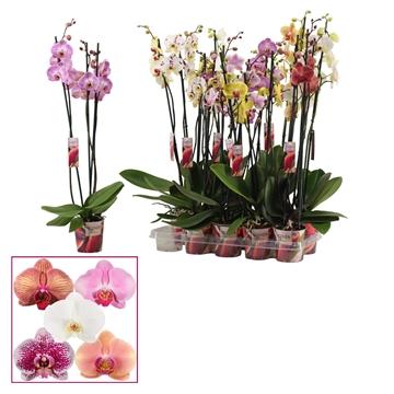 Phalaenopsis 3 tak mix lang (Scenza)
