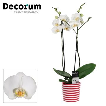 Phalaenopsis 2 tak wit in Vibe (Soft Illusion)