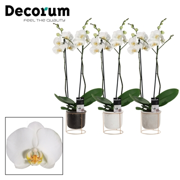 Phalaenopsis 2 tak wit in Lynn (Basic & Gold)