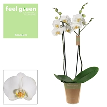 Phalaenopsis 2 tak wit (Feel Green)
