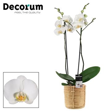 Phalaenopsis 2 tak wit in Yuki mand (Decorum)