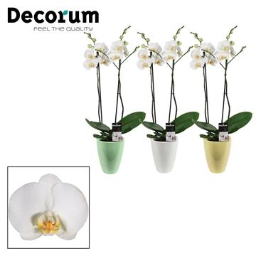 Phalaenopsis 2 tak wit in Carly Easter mix (Decorum)