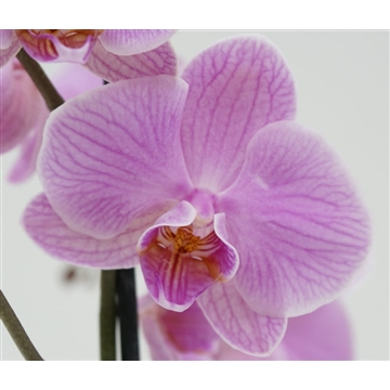 Candy 3 tak Phalaenopsis in Q-potcover