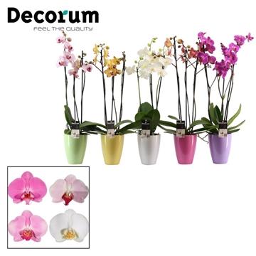 Phalaenopsis 3 tak mix in Carly pastel (Decorum)