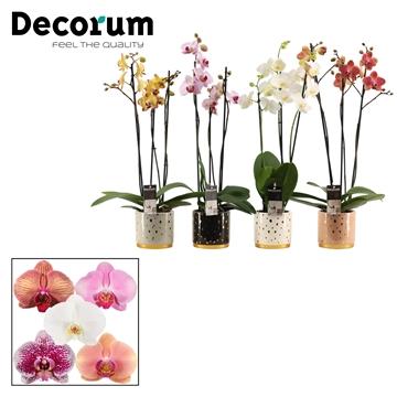 Phalaenopsis 3 tak mix in Sparkle (Glam Empire)