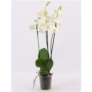 Phalaenopsis 3 tak wit