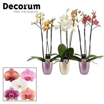 Phalaenopsis 3 tak mix in Pearl romance mix (Decorum)