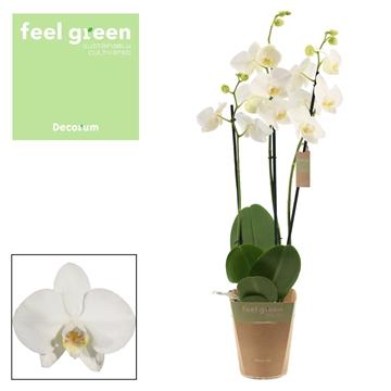 Phalaenopsis 3 tak wit (Feel Green)