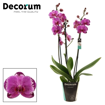 Phalaenopsis 3 tak Lightning (Decorum)