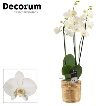 Phalaenopsis 3 tak wit in Yuki mand (Decorum)