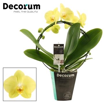 Phalaenopsis boog Ferrara (Decorum)
