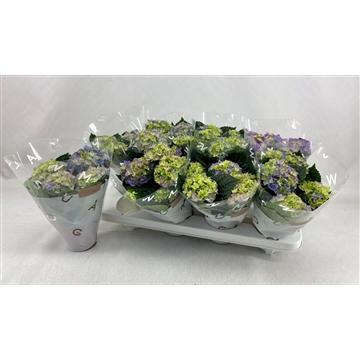 Hydrangea macr. 10cm Blauw 3+bloem