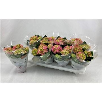 Hydrangea macr. 10cm Rose 3+bloem