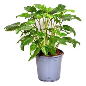 Philodendron Xanadu (Decorum)
