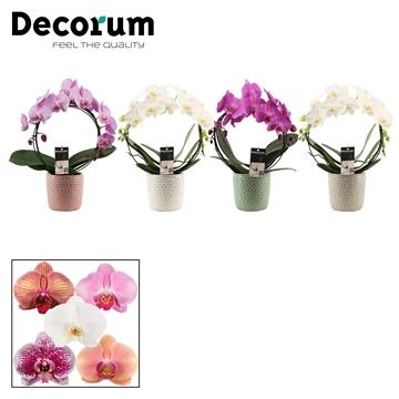 Phalaenopsis boog mix in Becca (Dream Spirit)