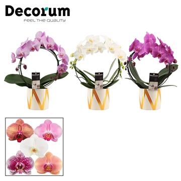Phalaenopsis boog mix in Blitz (Decorum)