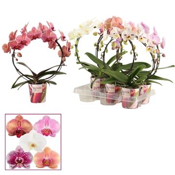 Phalaenopsis boog mix (Scenza)