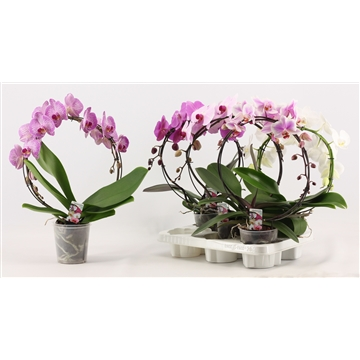 Phalaenopsis boog A2