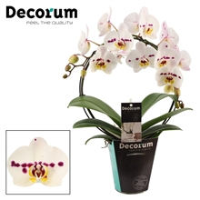Phalaenopsis boog Spottion (Decorum)