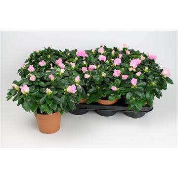 Azalea 12 cm roze