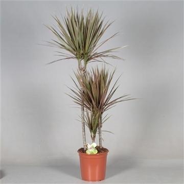Drac Bicolor 75-45-15 cm stam (Decorum)