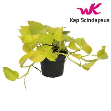 Scindapsus (Epipremnum ) Golden Pothos (Neon)
