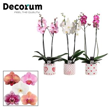 Phalaenopsis 2 tak mix in Naomi (Soft Illusion-collection)