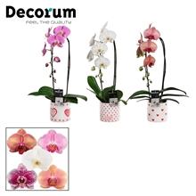 Phalaenopsis cascade 1 tak mix in Naomi (Soft Illusion-collect.)