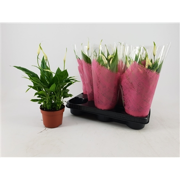 Spathiphyllum 10,5 cm Rondo in roze hoes