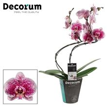 Phalaenopsis hurricane Cultivation (Decorum)