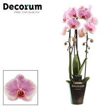 Phalaenopsis cascade 2 tak Romance (Decorum)