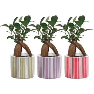Ficus Ginseng Retusa 6 cm in Bobbi (Soft Illusion-collection)