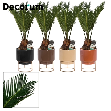 Cycas Revoluta 9 cm in Emma  (Stone Touch-collection)