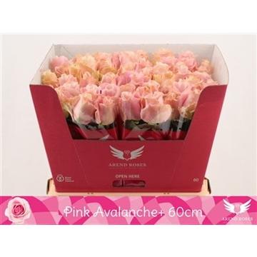 R Gr Pink Avalanche+
