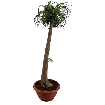 Beaucarnea recht 55 cm