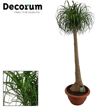 Beaucarnea recht 55 cm (Decorum)