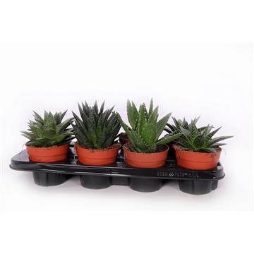 Aloe mix 12 cm