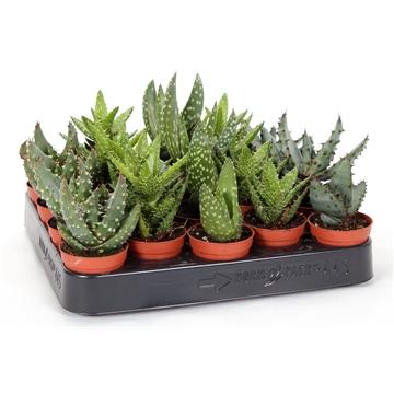 Aloe mix 5,5 cm
