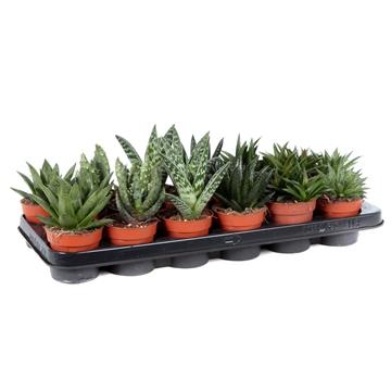 Aloe mix 8,5 cm
