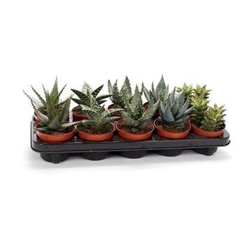 Aloe mix 10,5 cm