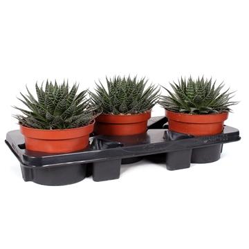 Aloe aristata 17 cm