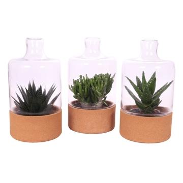 Aloe crassula stolp en kurk