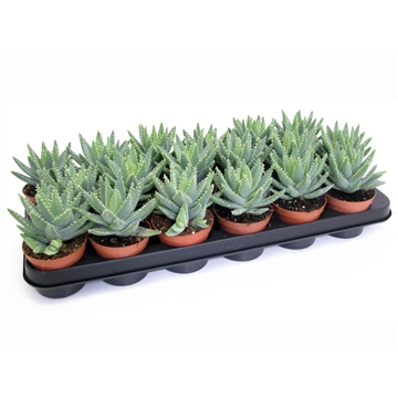 Aloe brevifolia 8,5 cm