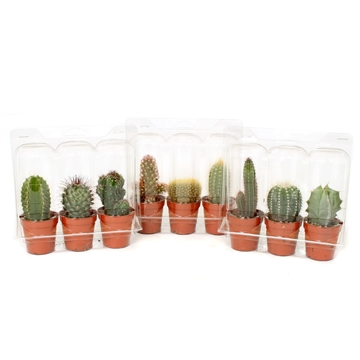 3x cactus 5,5 cm in A3 blister