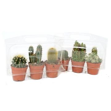 3er blister cactus 8,5 cm