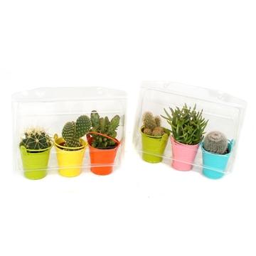 3er blister cactus gekleurd