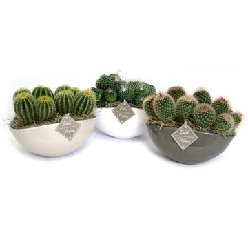 2x cactus bol in ovaal gekleurde schaal met tilandsia en etiket