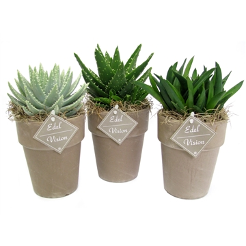 Aloe grijze vaas 11 cm